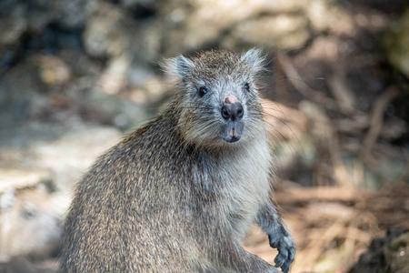 Cuban tree rat or hutia, Capromys pilorides