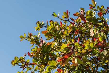 Indian Almond tree against a blue sky with autumn leaves