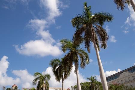 Palm trees in Parque Central, Havana Cuba