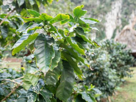 Vinales Valley in Cuba, coffee plants coffea arabica growing on a farm