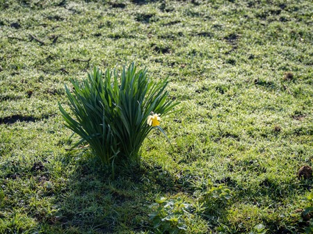 Spring flowers, single yellow daffodil clump in a green field