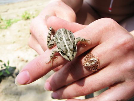 Small green frog in woman hands photo
