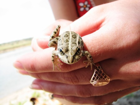 Little green frog in woman hands photo