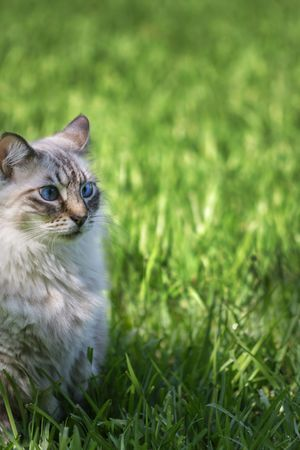 beautiful blue eyed cat on green grass photo