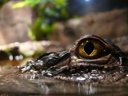 small reptiles: Closeup di un coccodrillo - attenzione � rivolta a occhio