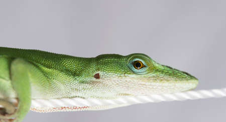 Lizard relaxing on rope