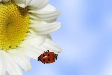 dasiy: Ladybug on dasiy