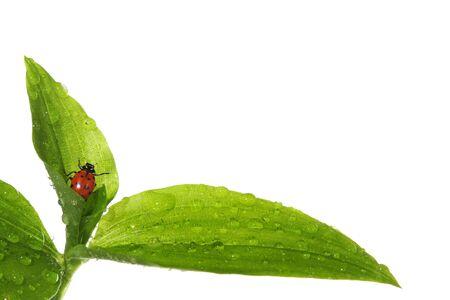 ladyfly: Ladybug on wet leaves