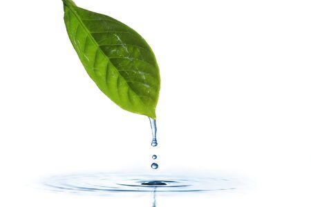 drippings: El agua que gotea de una hoja de