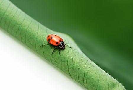 ladyfly: Ladybug on leaf