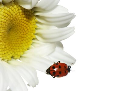 Ladybug on dasiy photo