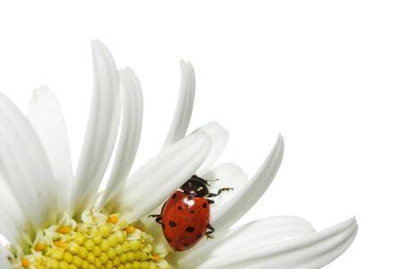 ladyfly: Ladybug on daisy Stock Photo