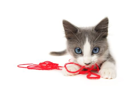 gray cat: Kitten playing with yarn