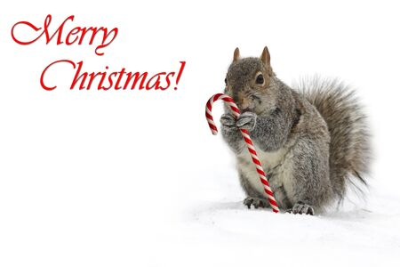 Squirrel holding a candycane Imagens
