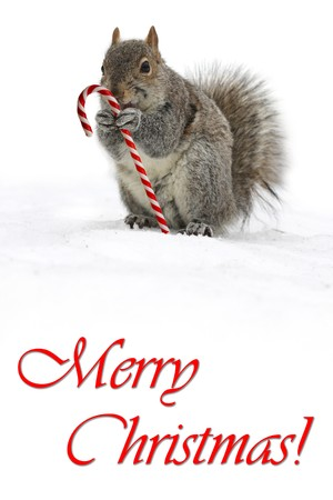 Squirrel holding a candycane Stock Photo