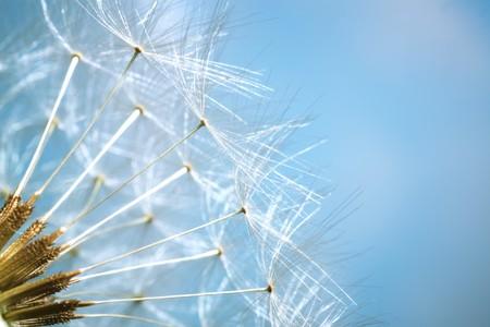 Dandelion - ondiepe dof