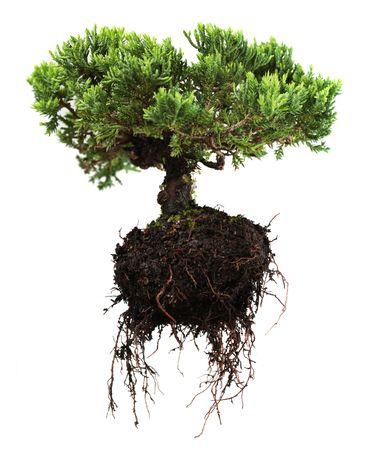 bonsai tree: Bonsai tree