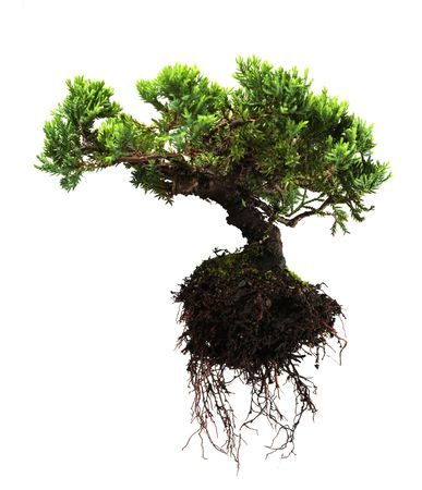 plant roots: Albero bonsai