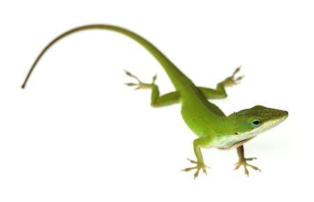 jaszczurka: Lizard