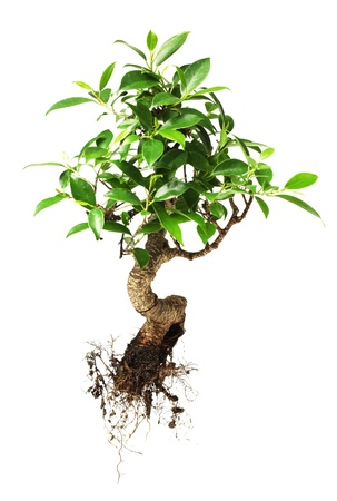 soil conservation: Bonsai tree isolated on white Stock Photo
