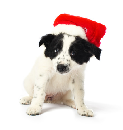 Border collie puppy with santa hat photo