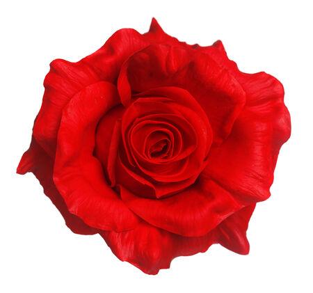 Rose rouge isolé sur blanc Banque d'images - 35500165