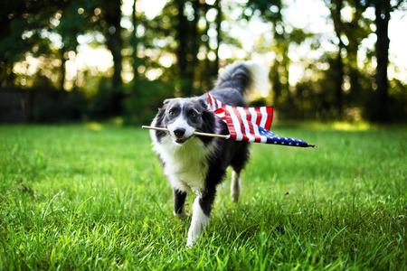 julio: Perro feliz jugando fuera y llevando la bandera americana
