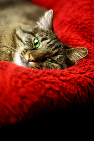 comfortable: Super comfortable cat on soft red blanket