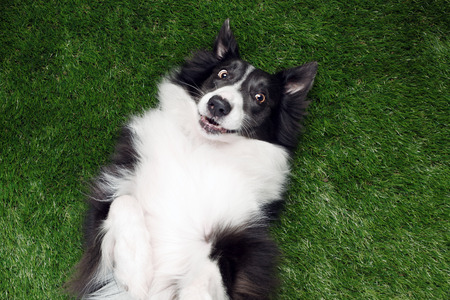 Happy border collie playing outside on the grass