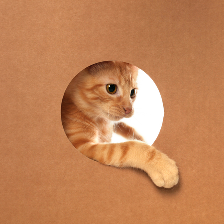 Cute little orange tabby kitten playing in a cardboard box 版權商用圖片