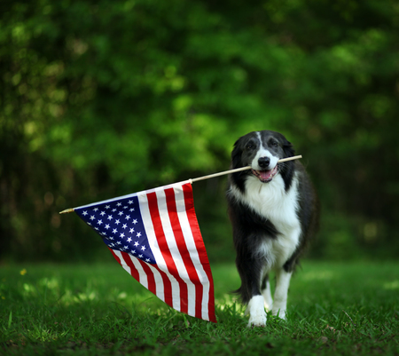 Happy border collie carrying USA flag 스톡 콘텐츠