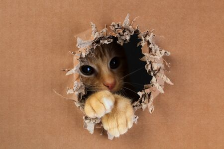 Adorable kitten clawing and biting at hole in cardboard box. Ginger tabby cat.