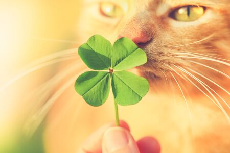 Beautiful orange tabby cat sniffing a lucky four leaf clover. Finding a lucky or special cat concept. 版權商用圖片 - 141028506