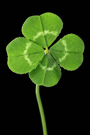 Perfect lucky four leaf clover isolated on black