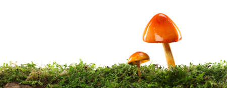 Two orange and yellow mushrooms on wet and humid green mossy forest floor. Isolated on white. 版權商用圖片