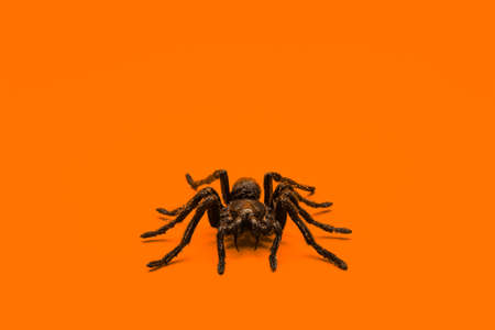 Single real tarantula spider on orange background. Creepy Halloween concept with blank space for text. 版權商用圖片