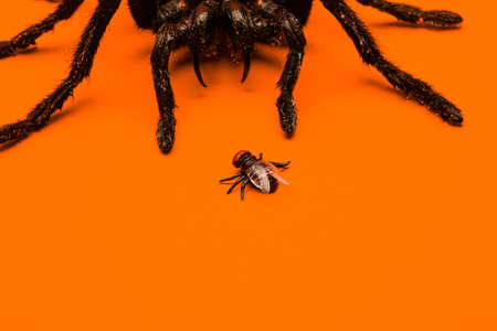 Single real tarantula spider creeping up on a small fly. Creepy Halloween concept with blank space for text. 版權商用圖片