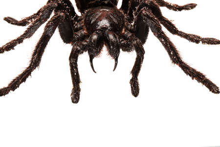 Creepy hairy Tarantula with large fangs isolated on white