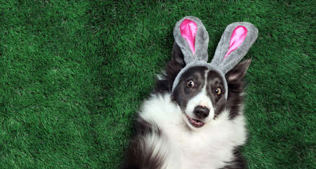 Happy dog with bunny ears laying on grass