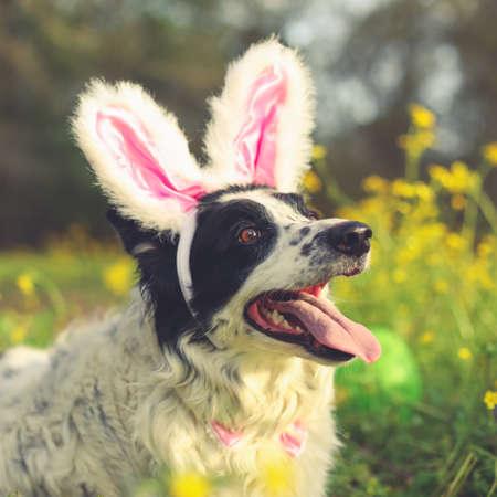 Panting border collie dog wearing pink Easter bunny rabbit ears having fun outside laying in flowers. 版權商用圖片
