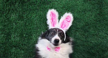 Happy dog with pink bunny ears laying on grass 版權商用圖片
