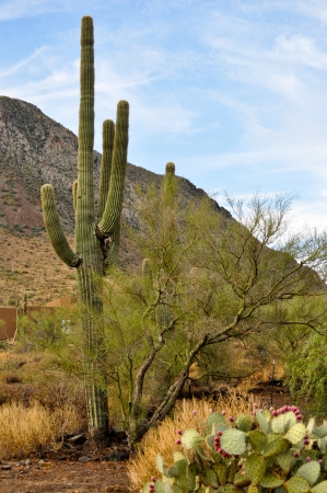 Saguaro Cactus standing tall behind a mesquite tree and a prickly pear cactus with a background of a desert mountain and a bright blue sky photo