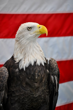 Closeup of a Bald Eagle standing tall in front of an American Flag photo
