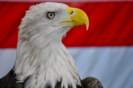 Closeup of the head of a Bald Eagle in front of an American Flag photo