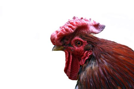 Head of the red cock isolated Stock Photo - 3262492