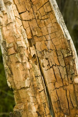 very old wood texture close-up; rotten and decomposed oak wood Stock Photo - 3262500