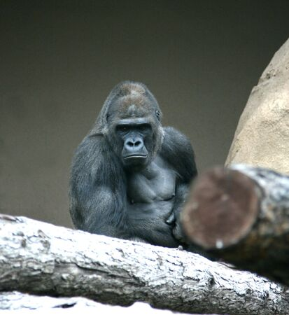 eyes cave: Gorilla among dry trunks of trees