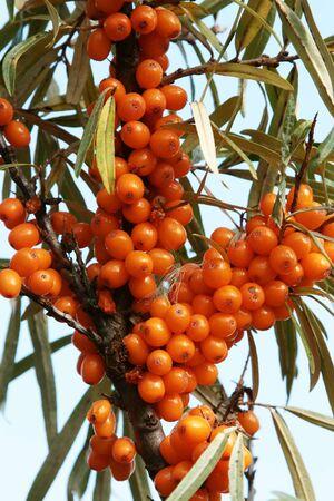 Ripe berries of sea-buckthorn berries photo
