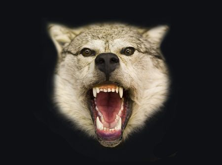 ferocious: Stuffed animal of a wolf on a black background