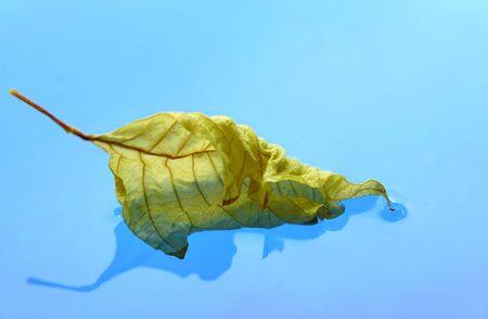 reflexion: La hoja seca flota en el agua azul suave con reflexi�n